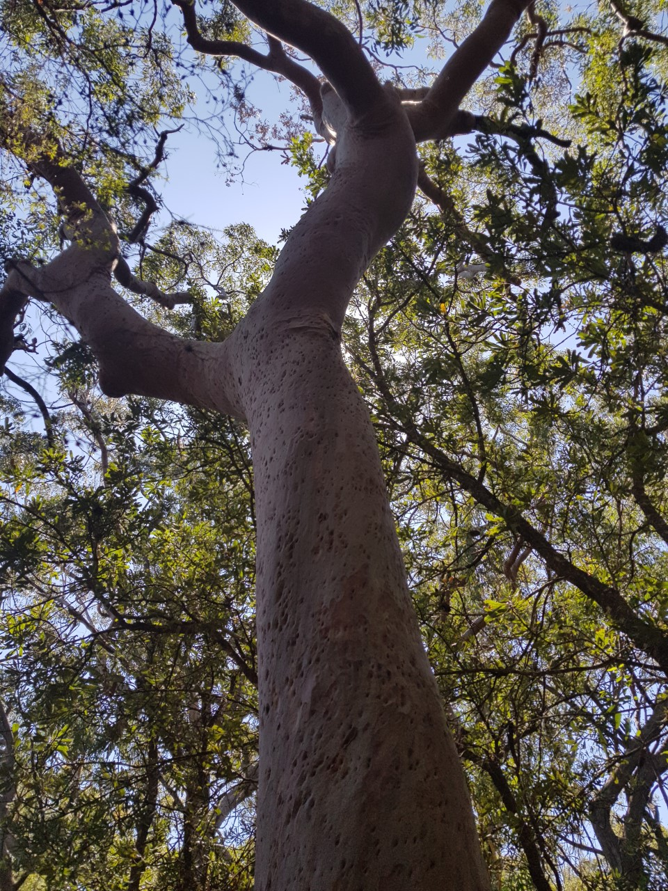Kincumba mountain tree pic from walk