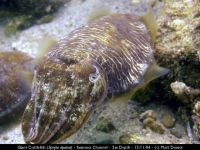 md giant cuttlefish close
