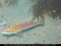 cr gunthers wrasse