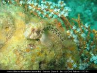 cr horned blenny
