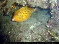 ge eastern smooth boxfish s