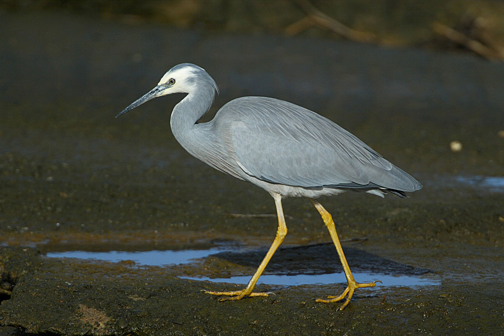 white faced heron copy
