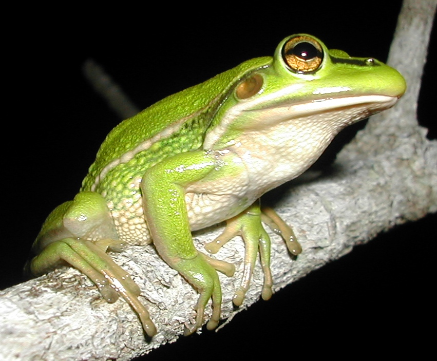 greengolden bell frog litoria aurea